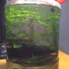 ボトルアクアリウム―アカヒレの産卵―