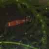 バランスドアクアリウム(?)でレッドビーシュリンプが抱卵しました